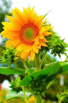sunflower -