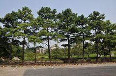 리기다소나무 - Google 검색