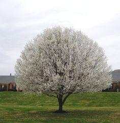 Callery Tree