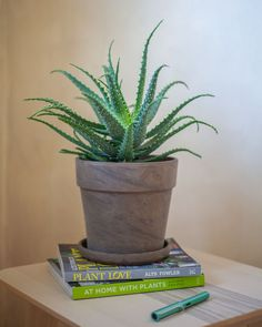 Aloes drzewiasty - bardzo łatwa w obsłudze roślina o terapeutycznych właściwościach. Planter Pots