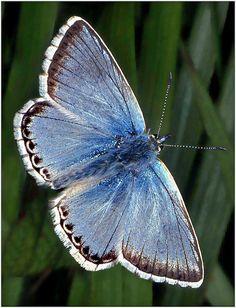 """Chalkhill Blue Butterfly / """"Toda reforma interior e toda mudança para melhor dependem exclusivamente da aplicação do nosso próprio esforço."""" (Immanuel Kant)"""