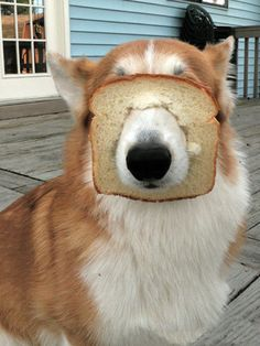 I Like Toast <=> Awkward & Guilty Doggies That Will Make Your Day <=>  Who hasn't picked up toast and done this? Oh, is it just me? Maybe he was attempting a game of hide and seek? No? He's just that silly! That's what it is.