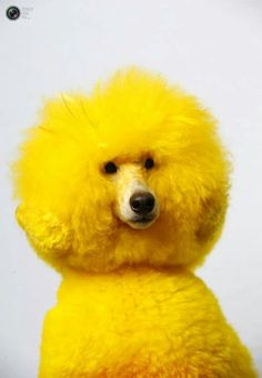Yellow - hmmm, contemplating if my dog would look good in yellow.