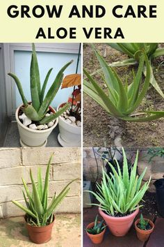 Learn how to grow and care for the aloe vera. Types Of Succulents, Planting Succulents, Succulent Care, Aloe Vera, Plants, Plant, Planets