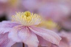 Fleur de Clématite - Marceline Breways