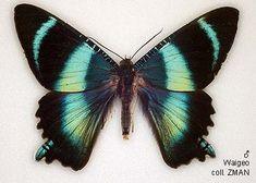 Papua Insects Foundation (Lepidoptera/Uraniidae/Uraniinae/Alcides cydnus)