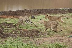 E' l'animale più veloce del mondo ma questa volta si è lasciato battere da due giovani leoni. Una rara scena della natura, che è stata catturata dall'obiettivo di Zane Engelbrecht, 25 anni, originario dello Zimbabwe, al Safari Park nella provincia del Limpopo, in Sudafrica