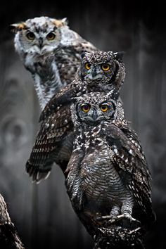 studioview: Owls by Marcus Pusch