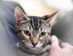 Taffy is an adoptable Domestic Short Hair - gray and white searching for a forever family near Weehawken, NJ. Use Petfinder to find adoptable pets in your area.