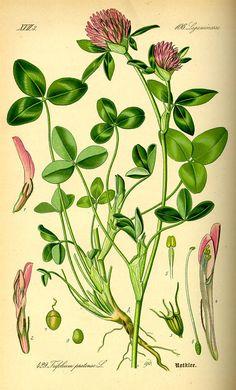 Trifolium pratense (Trebol rojo) - Fam. Leguminosas - Gimnospermas