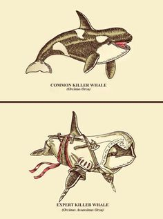 the Orca's Creed, (Assassins Creed - Killer Whale Edition)