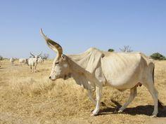 White Brahman Cattle. So beautifulll!