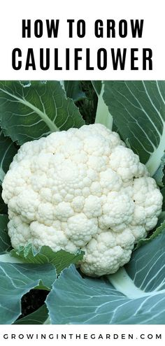 Cauliflower is trickier to grow than its relatives because it doesn't like it too hot… or too cold. Learn how to successfully grow cauliflower and enjoy harvesting this delicious and versatile vegetable. Fall Vegetables, Organic Vegetables, Growing Vegetables, Veggies, Growing Califlower, How To Grow Cauliflower, Organic Insecticide, Organic Gardening Tips, Gardens