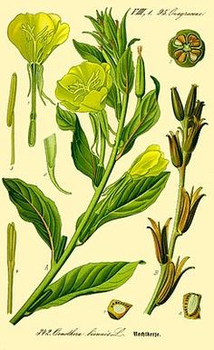 Gemeine Nachtkerze (Oenothera biennis), Illustration