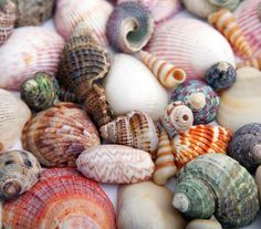 Outer Banks Shelling Guide