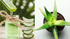 Aloe vera: Jak zázračnou rostlinu pěstovat a co z ní vyrobit? Aloe Vera, Korn, Succulents, Pesto, Vegetables, Health, Flowers, Nature, Plants