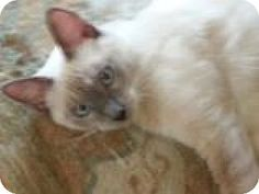 HILLSBORO, OR - Siamese. Meet Offered by Owner 'MISTY' Siamese Mix, a cat for…