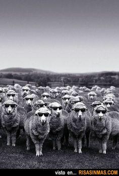 Rebaño de ovejas después de una noche de fiesta.