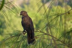 Seychelles Black Parrot. The Seychelles islands' list of endemic bird species stands at thirteen; since 2014 the national bird of the Indian Ocean island nation, the Black Parrot, has been officially recognised as a distinct species (Coracopsis barklyi), by taxonomic experts at Birdlife International, the world's largest nature conservation partnership. See more at…