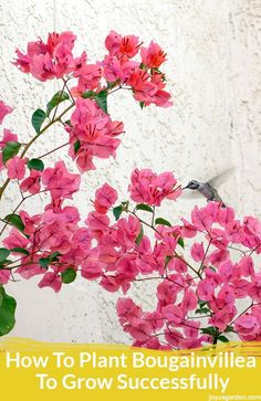 How To Plant Bougainvillea To Grow Successfully: The Most Important Thing To Know. There Are Key Points To Know About Planting Bougainvillea But 1 In Particular Is Very Important. Here's How To Plant Bougainvillea So That It Grows Successfully. Outdoor Plants, Air Plants, Outdoor Spaces, Shade Plants, Container Plants, Container Gardening, Bougainvillea Tree, Organic Compost, Organic Gardening