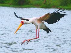 """Yellow billed stork: photograph by Owen Single"""