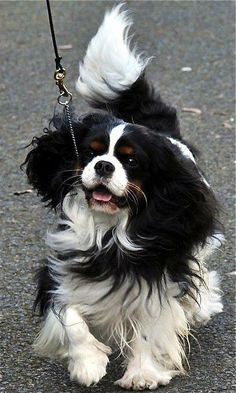 ♥, Cavalier King Charles Spaniel Tri-Color ...So Beautiful Sweet Memories of Amy ❤