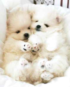 White Pomeranian Puppy Poofball Cute Bit Of Fluff Pinterest - Someone should have told this dog owner that pomeranians melt in water