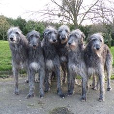 I love deerhounds!