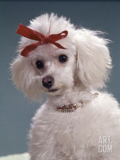 Portrait of Poodle With Red Bow and Ruby Collar Photographic Print by H. Armstrong Roberts at Art.com