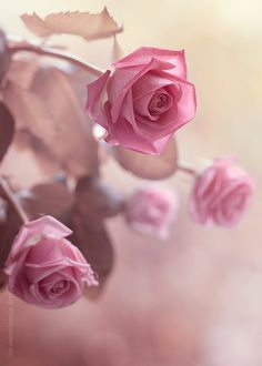 favorite flower...pink roses