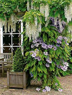 Der schnell wachsende Weiße Regen besticht mit fein gefiederten Blättern und leicht duftenden Blütendolden.Foto: Bakker