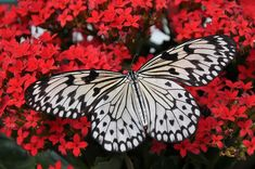 Celtic Zodiac Sign: Butterfly Meaning in Celtic Astrology. If you were born between Sept your Celtic butterfly sign says a lot about you. Butterfly Meaning, Butterfly Pictures, Celtic Zodiac Signs, Celtic Astrology, Free Images, Pictures Images, Insect Wings, Butterfly Wallpaper, Insects