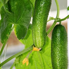 Homemade Cucumber Trellis from Garage Door Tracks - DIY - MOTHER EARTH NEWS