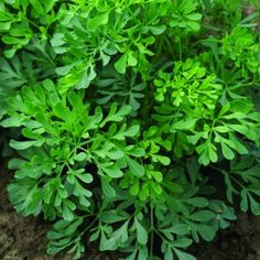 Rue, Herb O'Grace - {Ruta graveolens}   • Most cats dislike the smell of it and therefore it can be used as a deterrent to them.  • The caterpillars of Papilio machaon butterfly species feed on Rue, among other kinds of plants.  • CAUTION: Common Rue is said to promote the onset of menstruation and of uterine contractions.  Rue contains pilocarpine which is used in horses to induce abortion.  {I want to plant this around my herbs to keep the cats away!}