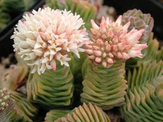 Succulent: Flowers of the Crassula, 'Buddha's Temple'