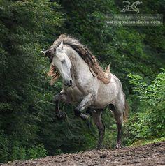 PRE stallion Devoro II, ow. Iwona Almestad