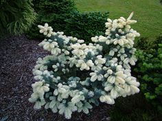 picea pungens maigold - Google Search