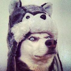 husky hat