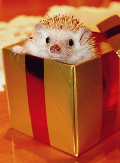 Bachelor Party Stripper-in-a-Box | 30 Lucrative Occupations For Hedgehogs