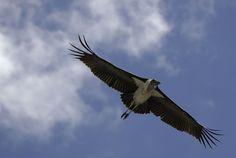 Jabiru flying over the Serengeti
