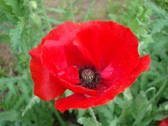 family tat--  poppy flower  | August. Chris.