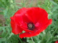 poppies flowers | Red Poppy | Naturally Beautiful...
