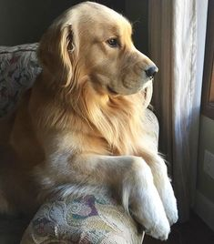 Waiting for Bae to come home #goldenretriever