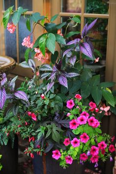 "Part Sun Container garden - ""Pink Cane"" Angelwing Begonia, Double Impatiens, Fuchsia ""Electric Lights"", Sweet Potato vine ""Little Blackie"", Persian Shield, Ramblin Petunia ""Burgundy Chrome"". Annuals."