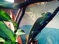 My little chameleon