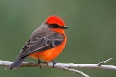 flycatcher er have these in many of our parks shy yet watch ablie
