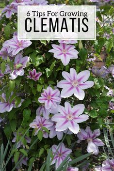 Every garden looks better with clematis! As these perennial vines scramble up tr. Every garden loo Climbing Flowers, Climbing Vines, Summer Garden, Lawn And Garden, Herb Garden, Vegetable Garden, Flower Bed Plants, Clematis Plants, Hillside Landscaping