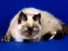 All Cat Breeds -Know more about cat breeds at catsincare.com!