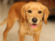 This is a golden retriever/cocker spaniel mix.  She looks exactly like my dog.  Now I know what he is.  :)