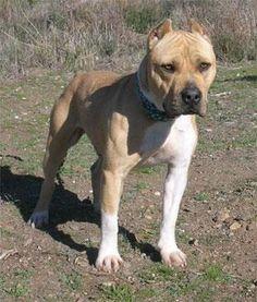 Meet JUNIOR, a Petfinder adoptable Pit Bull Terrier Dog | Santa Clarita, CA | This drop dead gorgeous guy came to us via another animal shelter. Like us, they too were surprised...